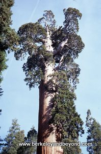Sequoia-General Grant Tree-c1986-slide scan-300pix
