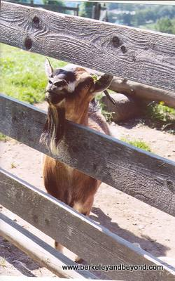 Switzerland-Heidi-goat-400pix(cCaroleTerwilligerMeyers)
