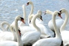 a-animal groups-swans-ENGLAND-Lake District-Windemere Lake-c2007 Carole Terwilliger Meyers-fnl-small-100pix
