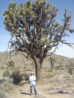 PALM SPRINGS-Joshua Trees-World's Largest-Carole-sml
